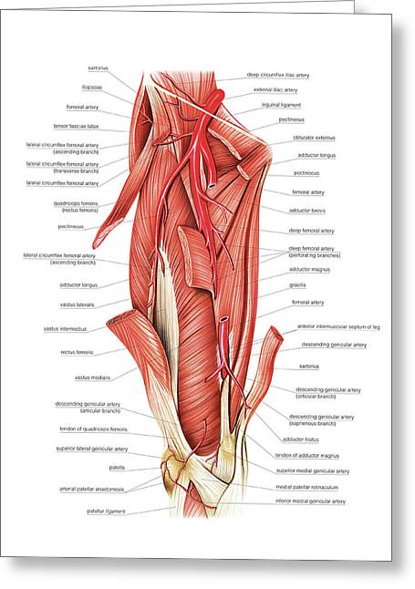 Arterial System Of The Thigh Greeting Card by Asklepios Medical Atlas