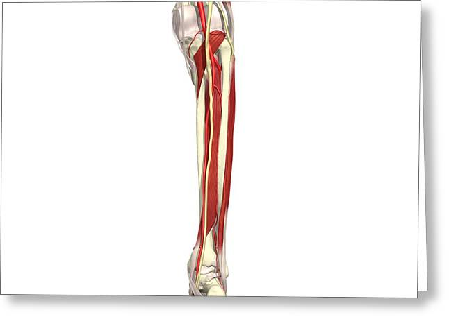 Tibial Nerve Greeting Cards - Arteries, Nerves And Muscles Of Leg Greeting Card by Medical Images, Universal Images Group