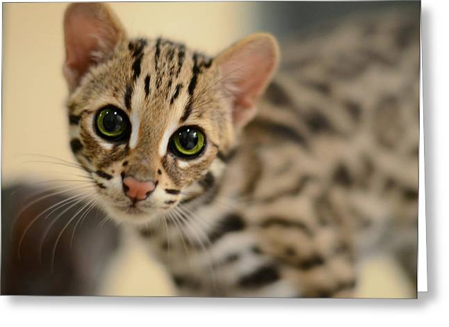 Cat Face Greeting Cards - Asian Leopard Cub Greeting Card by Laura  Fasulo