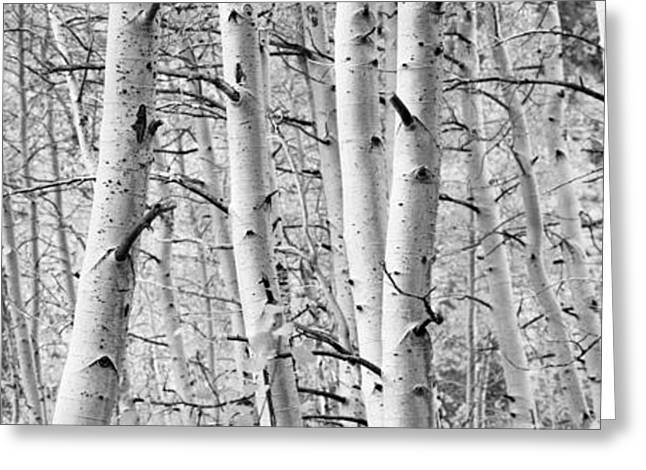 Low Section Greeting Cards - Aspen Trees In A Forest, Rock Creek Greeting Card by Panoramic Images