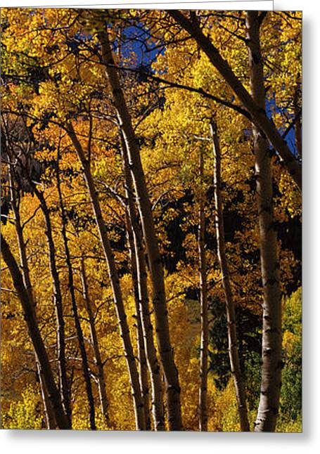 Fall Scenes Greeting Cards - Aspen Trees In Autumn, Colorado, Usa Greeting Card by Panoramic Images