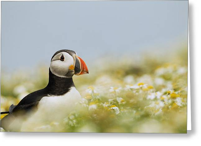 Atlantic Puffin In Breeding Plumage Greeting Card by Sebastian Kennerknecht