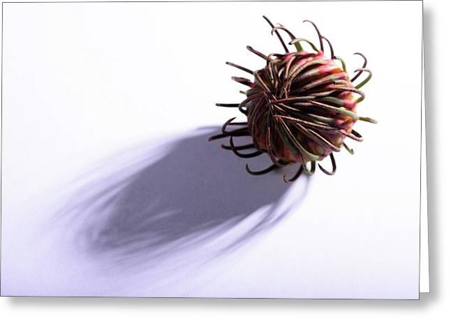 Aulax Cancellata Seed Head Greeting Card by Cordelia Molloy