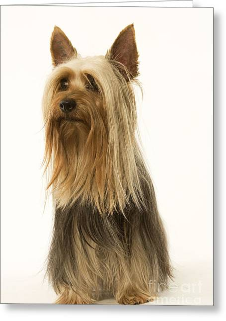 Toy Dog Greeting Cards - Australian Silky Terrier Greeting Card by Jean-Michel Labat
