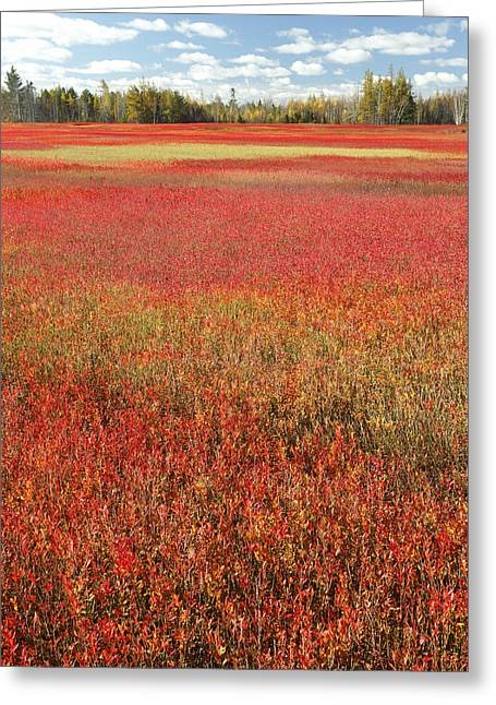 Maine Agriculture Greeting Cards - Autumn Blueberry Field Maine Greeting Card by Scott Leslie