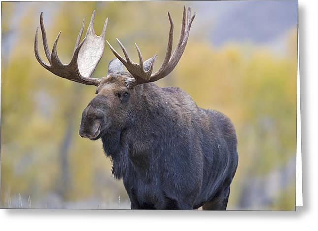 Autumn Bull Moose III Greeting Card by Gary Langley