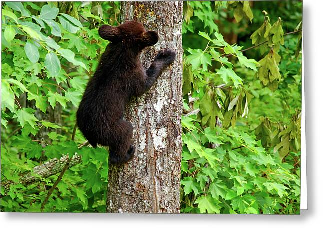 American Brown Bear Greeting Cards - Baby Bear Greeting Card by Christi Kraft