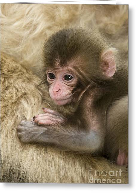 Sticking Out Tongue Greeting Cards - Baby Snow Monkey, Japan Greeting Card by John Shaw
