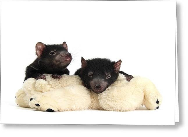 Biology Greeting Cards - Baby Tasmanian devils Greeting Card by Science Photo Library