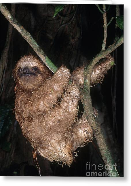 Three-toed Sloth Greeting Cards - Baby Three-toed Sloth Greeting Card by Gregory G. Dimijian, M.D.
