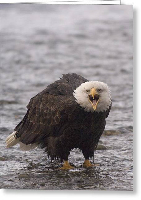 Us Open Photographs Greeting Cards - Bald Eagle Calling Alaska Greeting Card by Michael Quinton