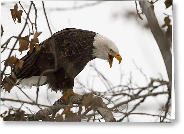 Alaska Greeting Cards - Bald Eagle Greeting Card by Dee Carpenter