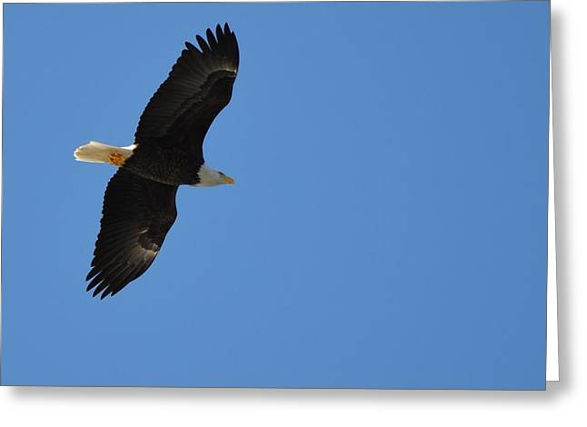Winter In Maine Greeting Cards - Bald Eagle Greeting Card by James Petersen