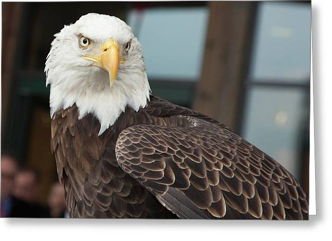 Bald Eagle Greeting Card by Jim West