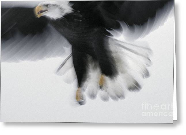 Haliaeetus Leucocephalus Greeting Cards - Bald Eagle Greeting Card by Ron Sanford