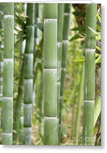 Culm Greeting Cards - Bamboo Phyllostachys Sp Greeting Card by Johnny Greig