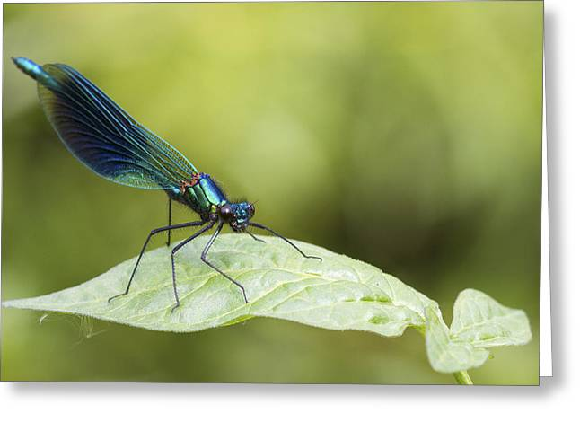 Demoiselles Greeting Cards - Banded demoiselle digital art Greeting Card by Chris Smith