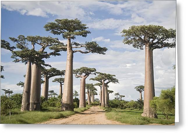 Baobab Greeting Cards - Baobab Trees Adansonia Digitata Greeting Card by Panoramic Images