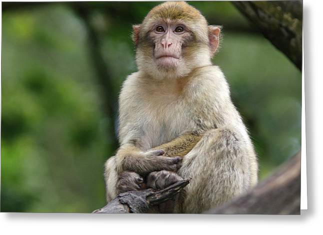 Barbary Macaque Greeting Card by Nigel Downer