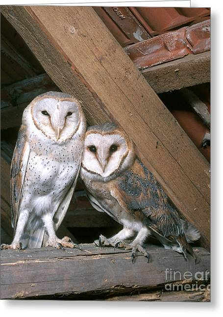 Science Collection - Greeting Cards - Barn Owl Greeting Card by Hans Reinhard