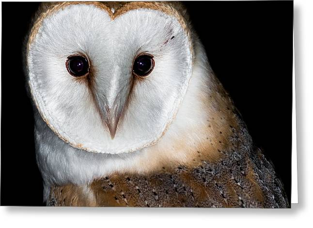 Nocturnal Greeting Cards - Barn Owl  Greeting Card by Ian Hufton