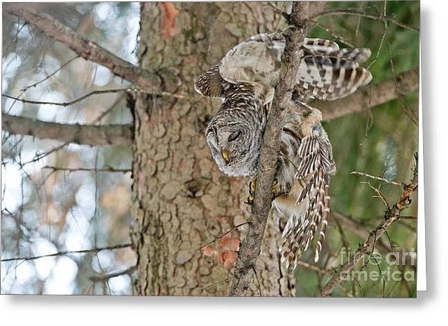 Animals Greeting Cards - Barred Owl Greeting Card by Michael Cummings