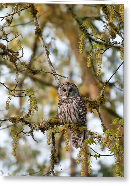 Pictures Of Lichens Greeting Cards - Barred Owl Of The Pacific Northwest Greeting Card by Jani Freimann