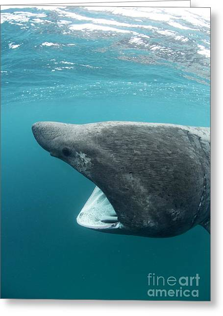 Bask Greeting Cards - Basking Sharks Greeting Card by Louise Murray