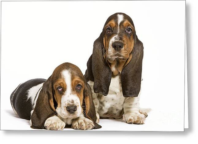 Two Hounds Greeting Cards - Basset Hounds Greeting Card by Jean-Michel Labat