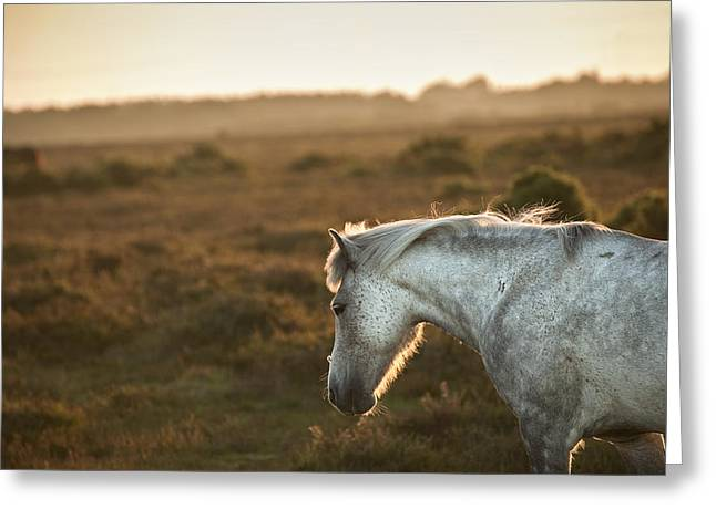 Hackney Greeting Cards - Beauttiful close up of New Forest pony horse bathed in fresh daw Greeting Card by Matthew Gibson