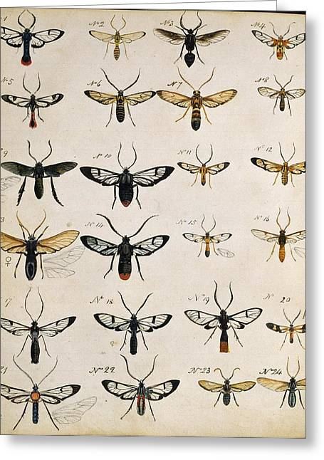 Sketchbook Photographs Greeting Cards - Beetles, 18th century illustration Greeting Card by Science Photo Library
