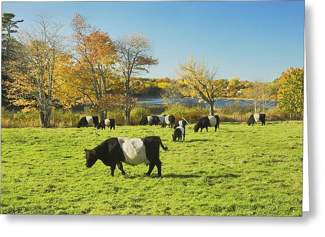 Domestic Cattle Greeting Cards - Belted Galloway Cows Grazing On Grass In Rockport Farm Fall Main Greeting Card by Keith Webber Jr