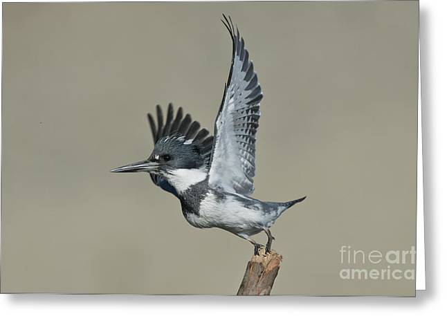 In Belt Greeting Cards - Belted Kingfisher Greeting Card by Anthony Mercieca