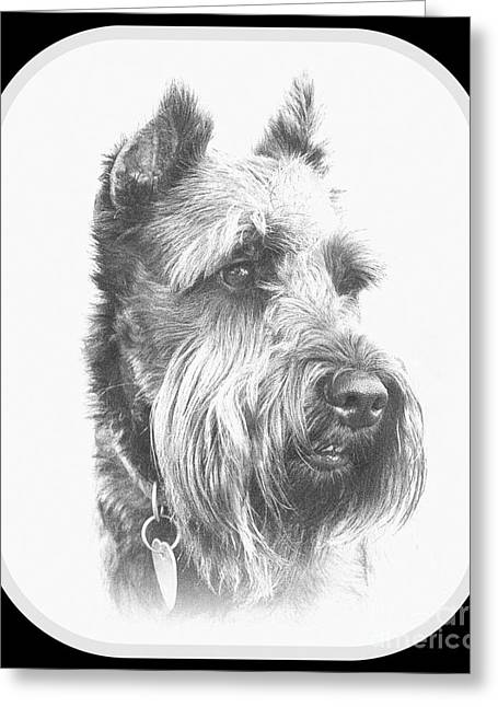 Duo Tone Greeting Cards - Benny the Miniature Schnauzer Greeting Card by Mickey Harkins