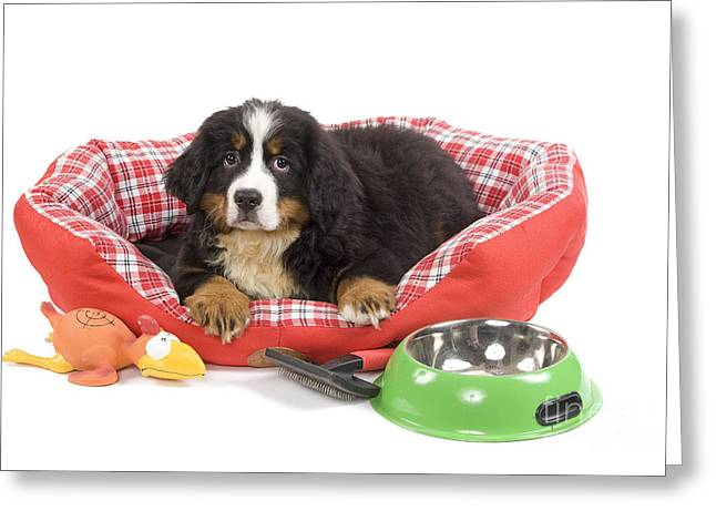 Toy Dog Greeting Cards - Bernese Mountain Dog Puppy Greeting Card by Jean-Michel Labat