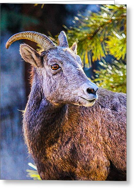 Rocky Mountain National Park Greeting Cards - Big Horn Greeting Card by Juli Ellen