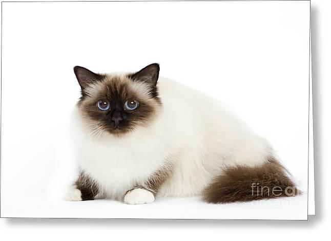 Cats Birman Greeting Cards - Birman Cat Greeting Card by Jean-Michel Labat