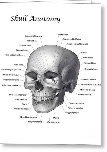 Ethmoid Bone Greeting Cards - Black And White Illustration Of A Human Greeting Card by Nicholas Mayeux