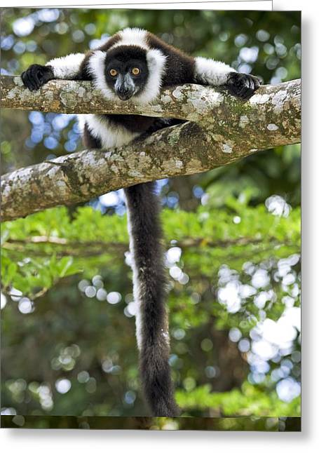Variegata Greeting Cards - Black-and-white ruffed lemur Greeting Card by Science Photo Library