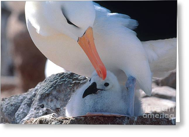 Mud Nest Greeting Cards - Black-browed Albatross With Chick Greeting Card by Art Wolfe