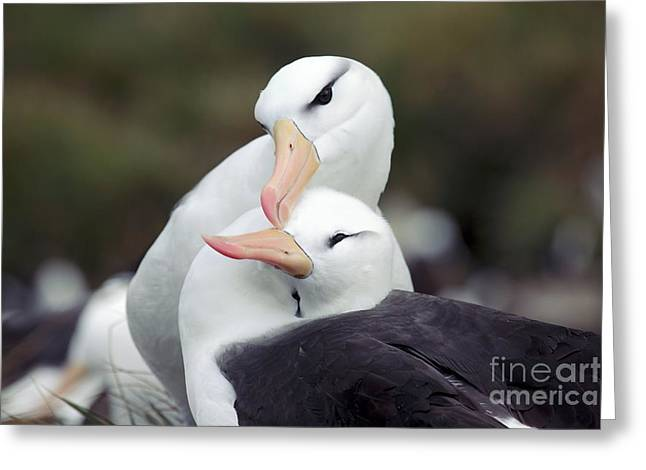 Black-browed Albatrosses Courting Greeting Card by Charlotte Main