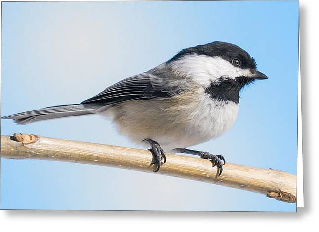 Birdwatching Greeting Cards - Black-Capped Chickadee Greeting Card by Jim Hughes