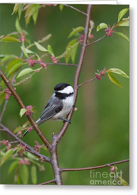 Animalia Greeting Cards - Black-capped Chickadee Poecile Greeting Card by Linda Freshwaters Arndt