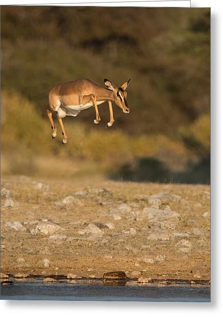 Agility Greeting Cards - Black-faced Impala Aepyceros Melampus Greeting Card by Panoramic Images
