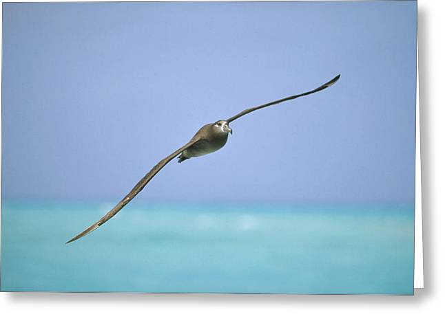Black-footed Albatross Flying Midway Greeting Card by Tui De Roy