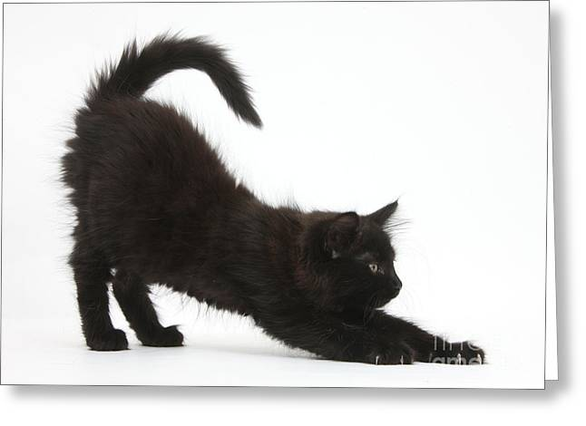 Cute Kitten Greeting Cards - Black Kitten Stretching Greeting Card by Mark Taylor