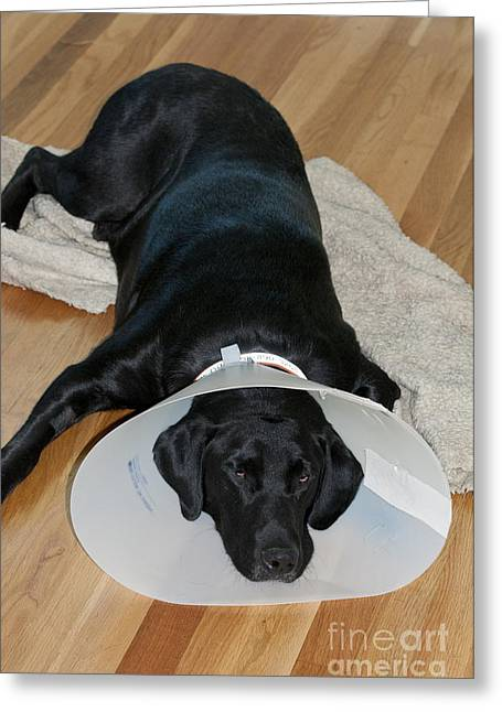 Pet Care Greeting Cards - Black Labrador With Elizabethan Collar Greeting Card by William H. Mullins