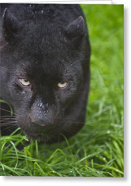 Black Leopard Greeting Cards - Black leopard  Greeting Card by Matthew Gibson