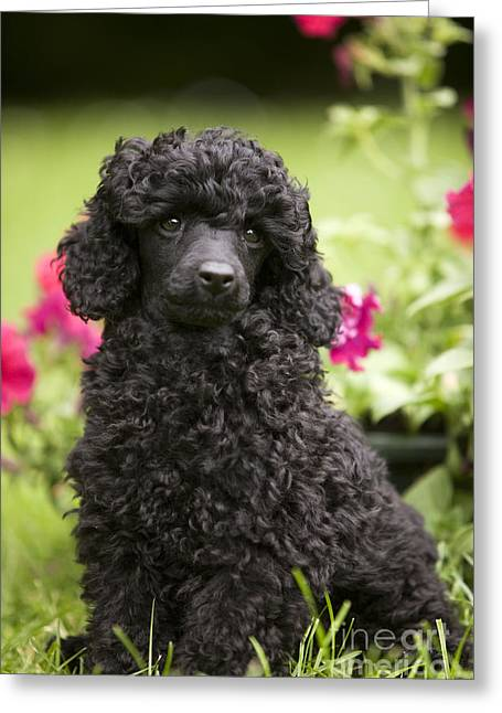 Portrait With Flowers Greeting Cards - Black Poodle Greeting Card by Jean-Michel Labat
