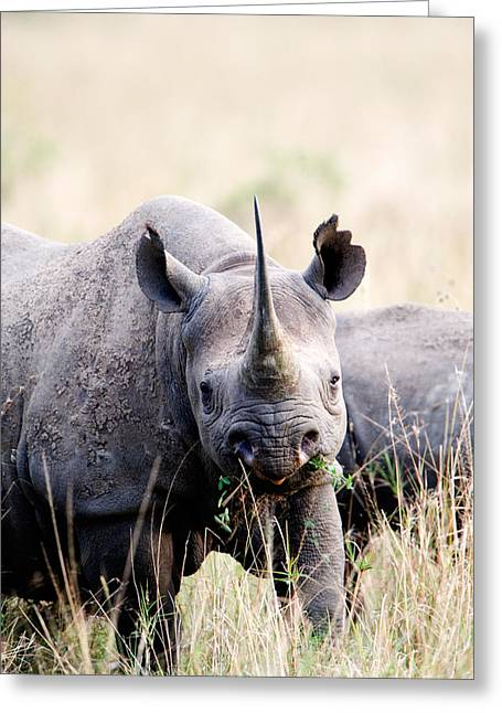 Zoology Greeting Cards - Black Rhinoceros Diceros Bicornis Greeting Card by Panoramic Images